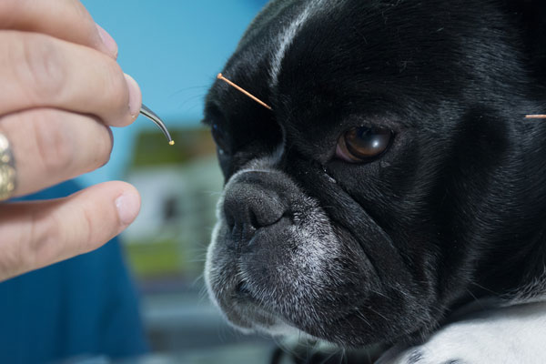 Veterinarian performing acupuncture on pets