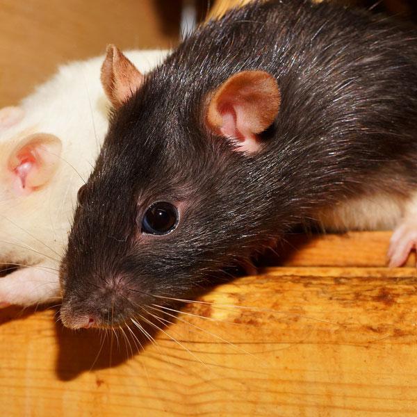 Rat curious