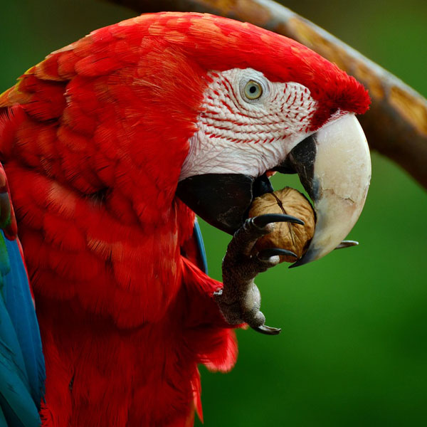 Bird Plumage Colorful Parrot Scarlet Macaw Ara
