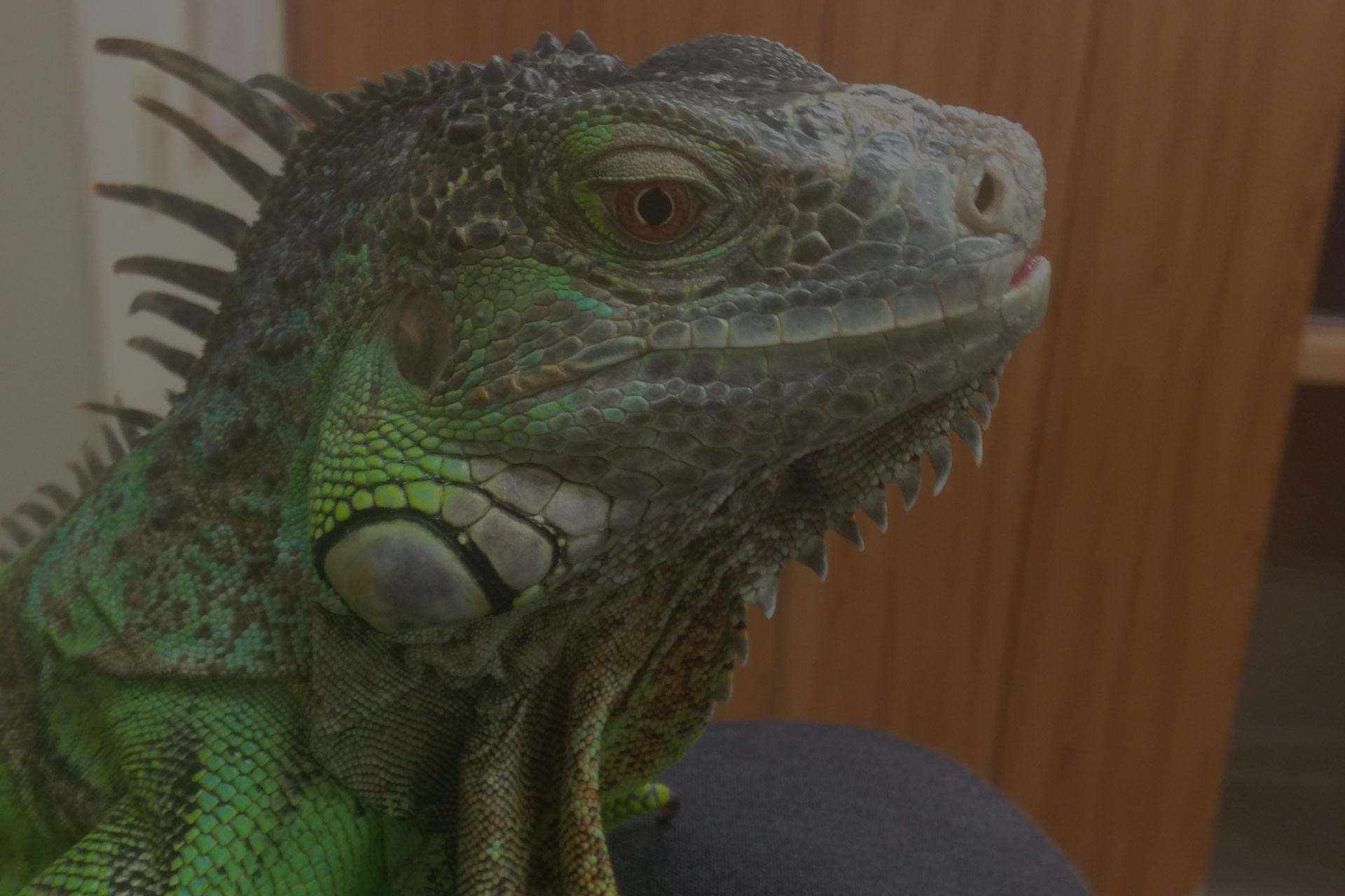 Green iguana close up