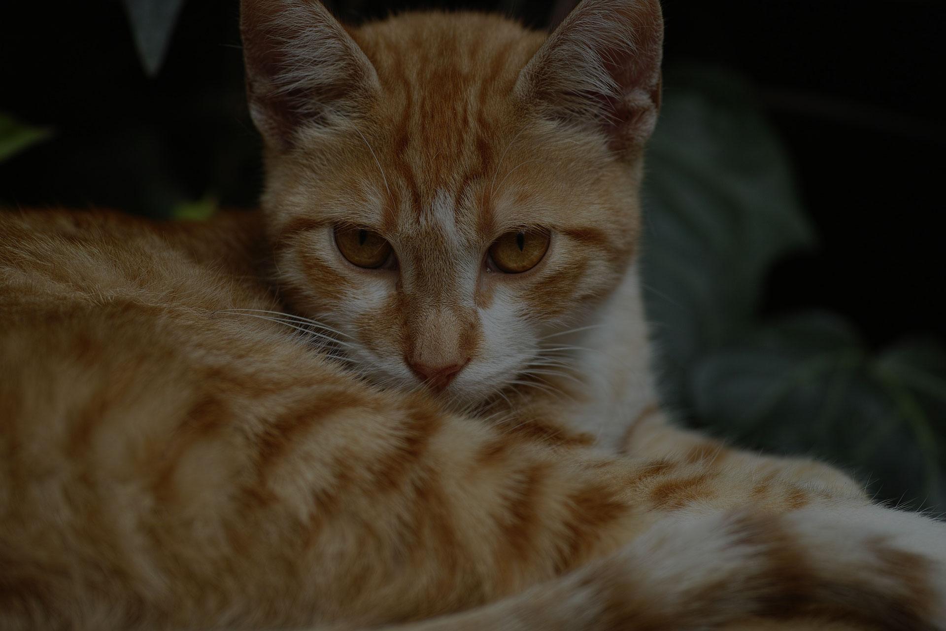 Golden Cat Looking at Camera