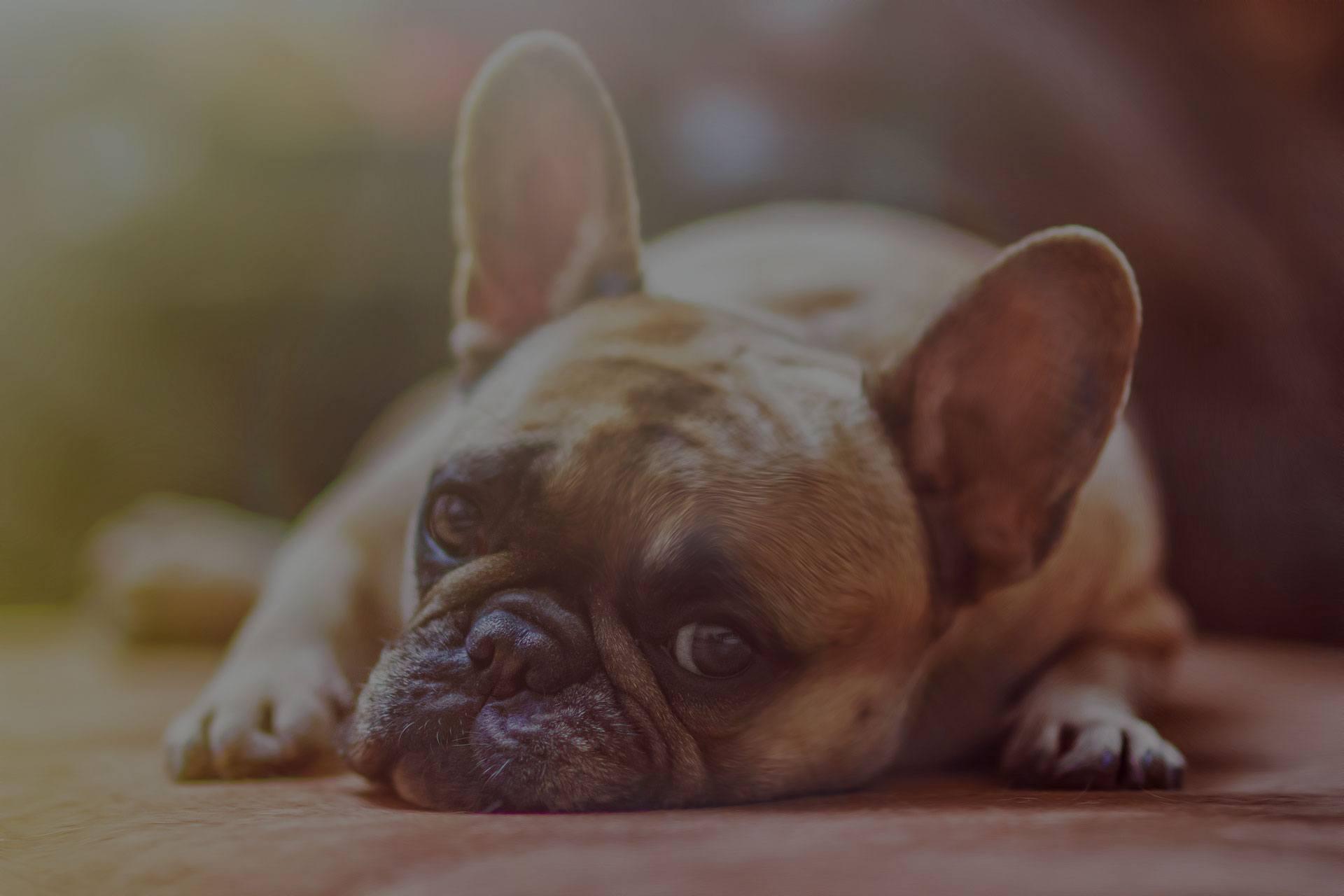 Cute puppy lying on floor
