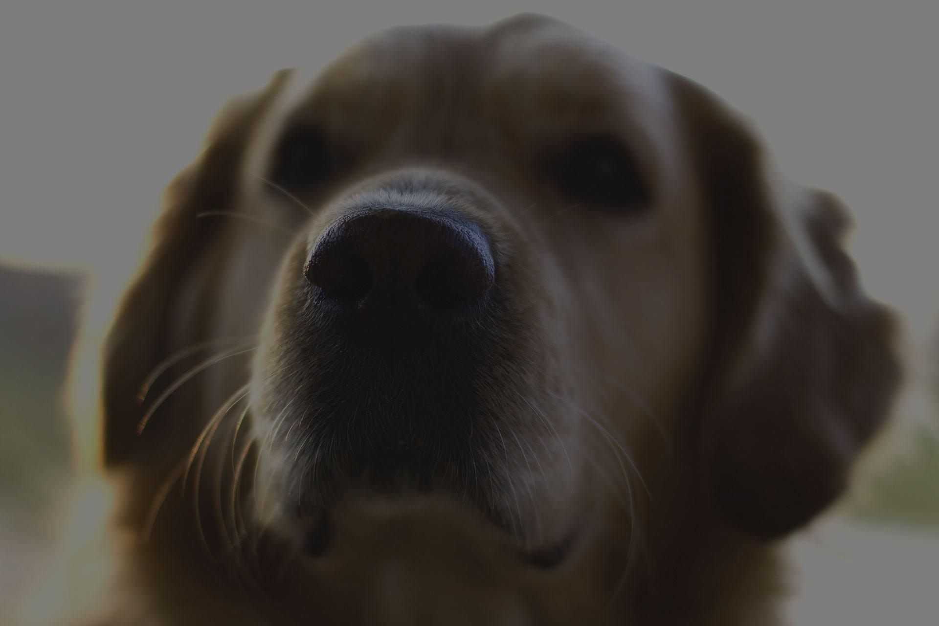 Golden Retriever Nose close up